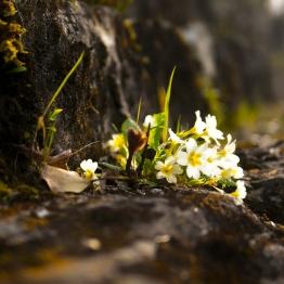 Fiore cascata