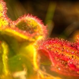 hdr pianta carnivora